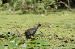 Polla de agua común (chloropus del Gallinula) Fotografía de archivo libre de regalías