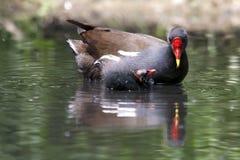 Polla de agua común con el polluelo en la charca Foto de archivo libre de regalías