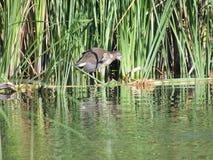 Polla de agua común 3-4 meses con un pico abierto en las cañas Fotos de archivo