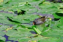 Polla de agua común que camina sobre las plantas acuáticas imagen de archivo libre de regalías