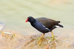 Polla de agua común Fotografía de archivo