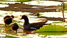 Polla de agua con la alimentación de los polluelos Imagen de archivo libre de regalías