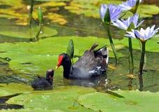 Polla de agua en África Imagen de archivo