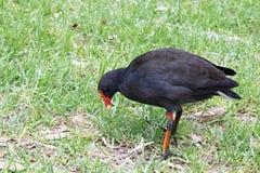Polla de agua oscura (Gallinula Tenebrosa) Fotos de archivo