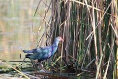 Polla de agua púrpura Foto de archivo libre de regalías