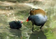 Polla de agua y bebé comunes Fotos de archivo libres de regalías