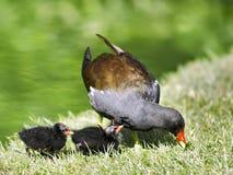 Polla de agua y polluelos comunes Fotos de archivo