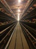 Pollame del bestiame di azienda agricola delle gabbie di uccelli dei polli Fotografia Stock