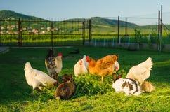 Pollame domestico e conigli che mangiano insieme erba Immagini Stock