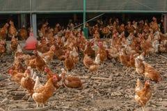 Pollame - galline di strato Fotografie Stock Libere da Diritti