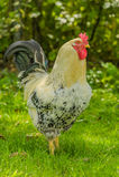 Pollame - polli del cortile Fotografia Stock