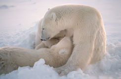 Pollar bears in soft focus. Intimate soft focus portrait of polar bear nursing her cubs Royalty Free Stock Photo