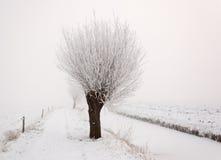 Pollard-Weide im Nebel des frühen Morgens Stockfoto