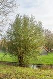 Pollard-Weide, Salix alba entlang einem Abzugsgraben Stockfotos