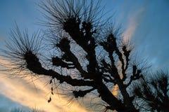 Pollard-Weide und bunter Sonnenuntergang Stockfoto