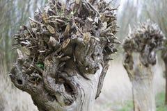 Pollard willow. A pollard willow in nature Stock Photo