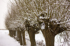 Pollard willow. Covered with snow Royalty Free Stock Photography