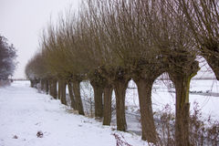 Pollard willow. Covered with snow Royalty Free Stock Photos