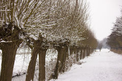 Pollard willow. Covered with snow Stock Photography