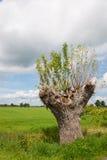 Pollard willow. In Dutch landscape Stock Photo