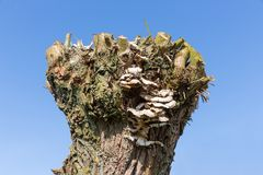 Pollard willow with fungus against a blue sky. Lonely bollard willow with fungus against a blue sky Stock Photo
