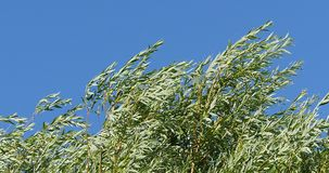 Pollard Willow, salix alba, Wind in the Leaves, Normandy stock video footage