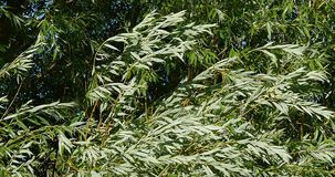Pollard Willow, salix alba, Wind in the Leaves, Normandy stock footage