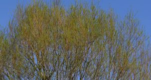 Pollard Willow, salix alba, Wind in the Leaves, Normandy,. Real Time 4K stock video footage