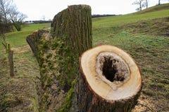 Pollard willow tree Royalty Free Stock Photography