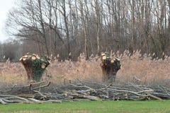 Pollard willow Royalty Free Stock Photo