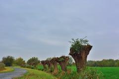 Pollard willows on a belgian pedestrian road Stock Photos