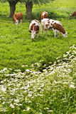 Pollard-willows, cow parsley and grazing cows Royalty Free Stock Images