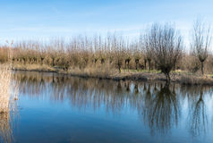 Pollard willows reflected Royalty Free Stock Photo