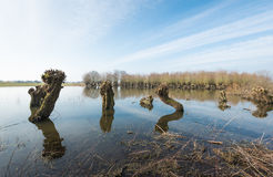 Pollard willows reflected in mirror smooth water surface Stock Photos