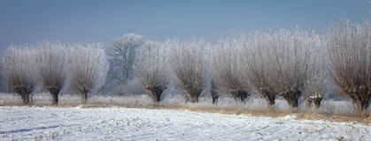 Pollard willows rime Royalty Free Stock Photo