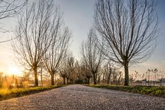 Pollard willows at sunset. Narrow asphalt road lined with pollard willows in  Rotterdam, The Netherlands just before sunset on a winter day Stock Photo