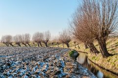 Pollard willows in a wintry landscape in Holland. A row of pollard willows along a dyke in the dutch countryside during winter with a dusting of snow on the Royalty Free Stock Photography
