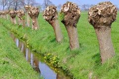 Pollarded Weiden Lizenzfreies Stockbild