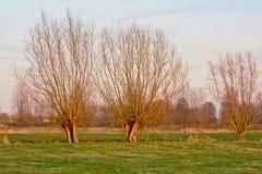 Pollarded Weiden in der Wintersonne Stockfotografie