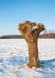 Pollarded wierzba w Holenderskim śnieżnym polderu krajobrazie zdjęcie royalty free