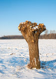 Pollarded willow in a Dutch snowy polder landscape. Pollard willow in winter whose branches and osiers are cut and harvested Royalty Free Stock Photo