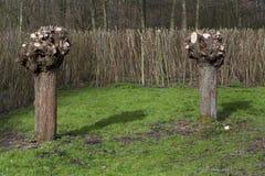 Pollarded willows Stock Photo