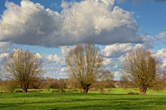 Pollarded willows in a meadow Stock Photo