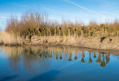 Pollarded willows reflected Stock Images
