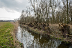 Pollarded willows on the waterfront Stock Image
