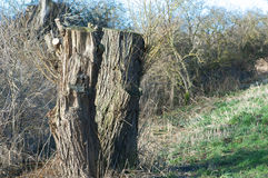Pollarded willows Stock Photography
