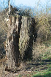 Pollarded willows Royalty Free Stock Photography
