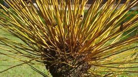 Pollarding, eine traditionelle Weise von Beschneidungsweidenbäumen lizenzfreie stockbilder
