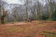Pollarding graby w Epping lesie Obraz Stock