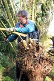 Pollarding a willow in autumn Royalty Free Stock Photos